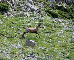 Chamois dans le Mercantour (©:Par Redonnets (Travail personnel) [CC BY-SA 3.0 (http://creativecommons.org/licenses/by-sa/3.0)], via Wikimedia Commons)